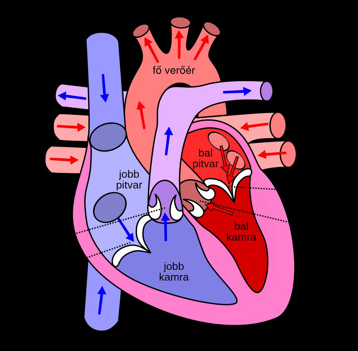 a szív és a visszér összekapcsolása