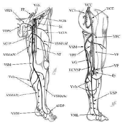 A visszerek anatómiája